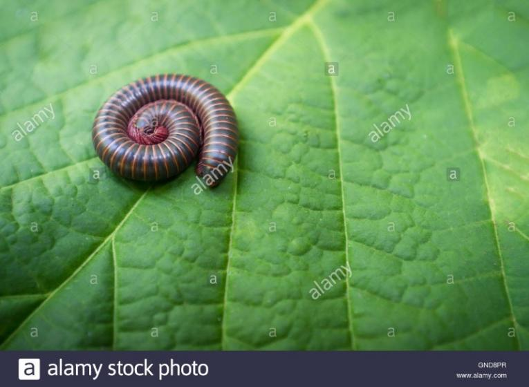 macro-closeup-of-orange-and-black-millipede-curled-into-spiral-GND8PR.jpg
